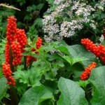 Planta Arum italicum