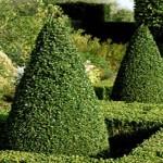 Boj comun planta para el jardin