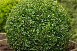 Buxus sempervirens planta para el jardin