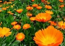 Caléndula de jardín