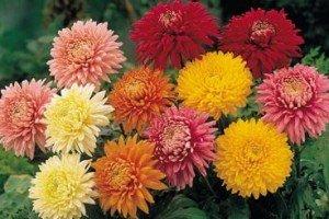 genero Chrysanthemum