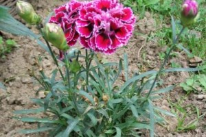 Clavel tipo Dianthus caryophyllus