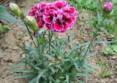 Claveles distintos tipos para tu jard n plantas for Plantas ornamentales clavel
