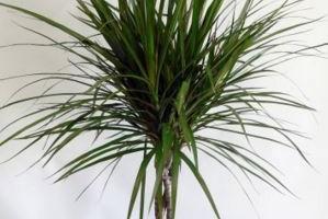 Planta interiores Dracena marginata