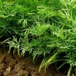 Eneldo planta