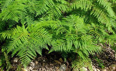 Atrae a la suerte con el helecho macho plantas - Cuanto dura la mala suerte ...