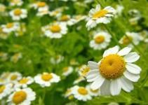 Planta medicinal manzanilla
