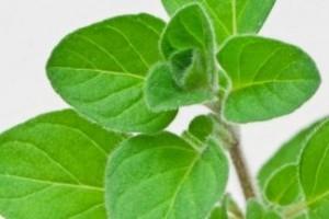 Oregano hojas planta