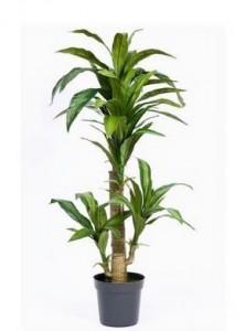 Planta de brasil