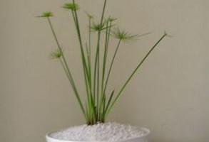planta Papiro baño