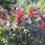 Plantas de Ricinus communis