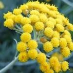 Sol de oro, planta medicinal