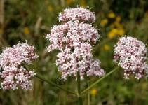 Valeriana planta medicinal