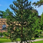 Araucaria araucana planta para exteriores