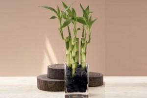 Plantas para ba os todo lo que debes saber - Bambu planta exterior ...