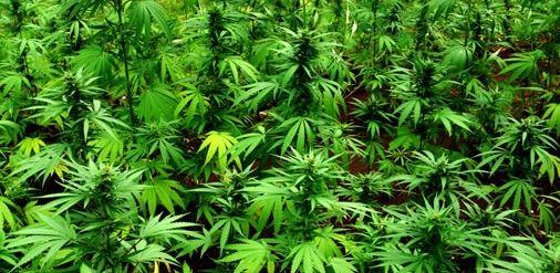 cannabis para el cancer