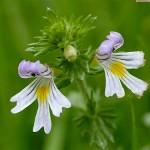 Euphrasia planta
