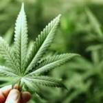Flor del cannabis