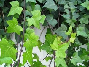 hiedra plantas para interiores de casas