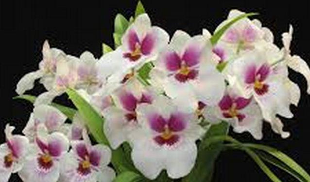 orquidea del amor