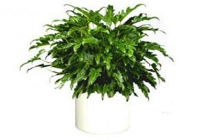 Philodendron salvaje