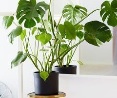 Philodendron salvaje