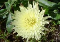 planta amargot
