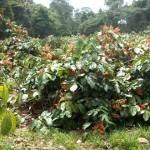 Planta Guarana