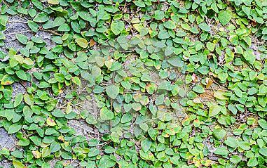 Plantas para muros de contenci n y verticales plantas for Plantas trepadoras para muros