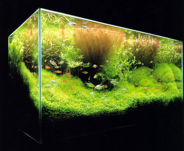 3 plantas ideales para un acuario de agua dulce plantas