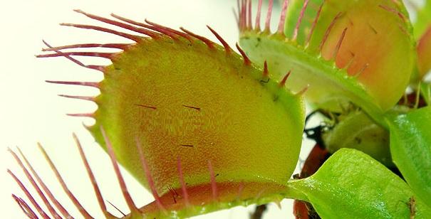Tipos De Plantas Carnivoras Related Keywords  Tipos De Plantas