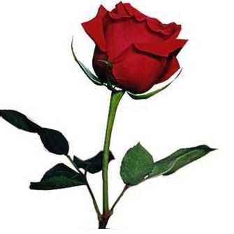 rosa para el amor planta